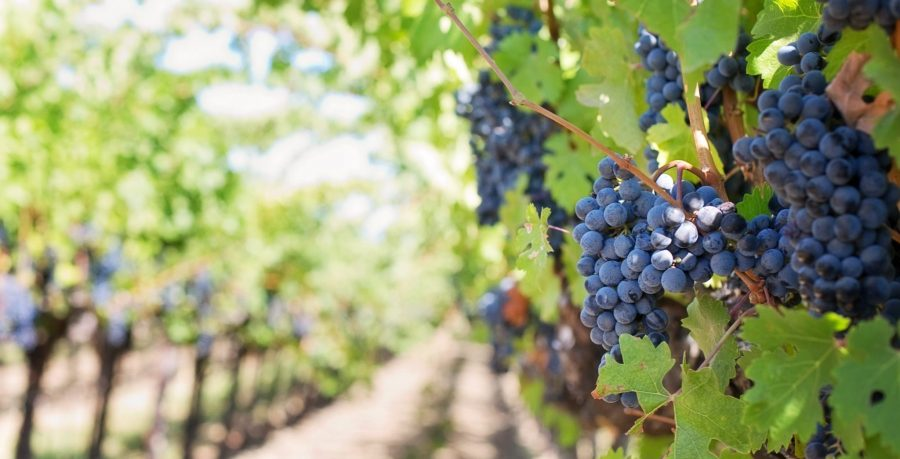 uva - grapes