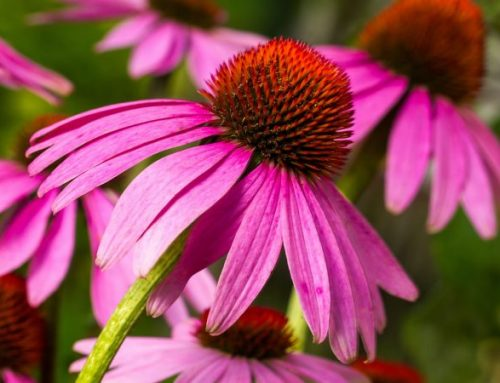 Echinacea :  antibiotico e antivirale naturale